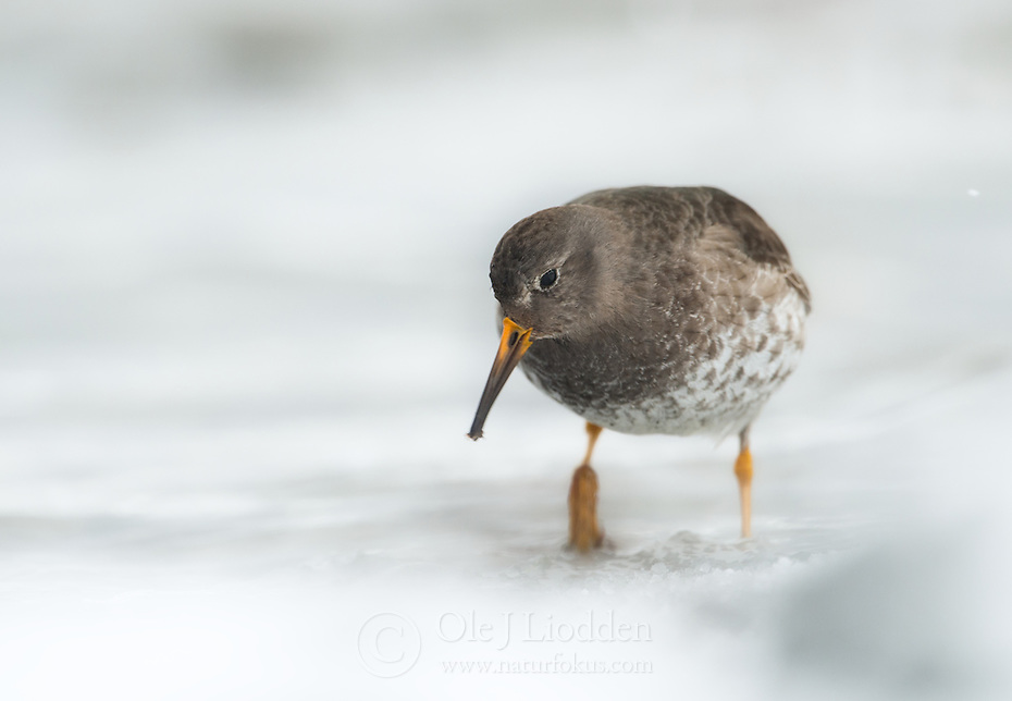 Purple Sandpiper (Calidris maritima), Varanger, Finnmark, Norway