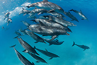 RW6057-D. Atlantic Spotted Dolphins (Stenella frontalis), pod of over 30 animals swimming together.  Appearance varies greatly between different stocks throughout their range, and based on age. In general, a calf is born unspotted, and as it matures spots develop and increase. Bahamas, Atlantic Ocean.<br /> Photo Copyright &copy; Brandon Cole. All rights reserved worldwide.  www.brandoncole.com