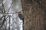 Red-bellied Woodpecker clinging to a tree in Nebraska.