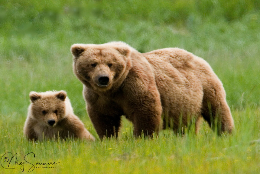 This Alaskan brown bear (Ursus arctos middendorffi) pair were a beautiful, and somewhat unique color of golden brown. This spring cub will hopefully grown up to be just as pretty as her mom.