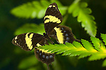 Homerus Swallowtail butterfly, Papilio homerus, female