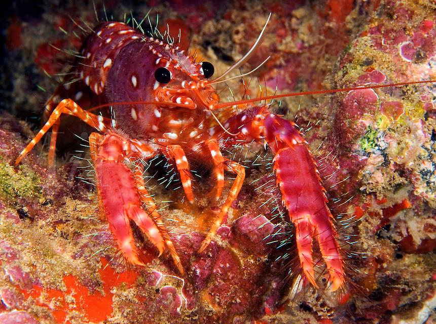 Hawaiian or western lobster,  Enoplometopus occidentalis, Hawaii.<br />