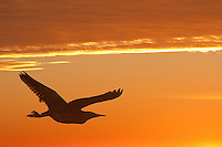 Silhouette of a heron in-flight against an orange sunset.
