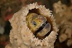 Yellow-margined moray eel (Gymnothorax flavimarginatus) in a sponge