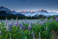 Spring landscape of lupine and Kenai Mountains at sunrise along Placer River in Southcentral, Alaska<br /> <br /> Photo by Jeff Schultz (C) 2016  ALL RIGHTS RESERVED