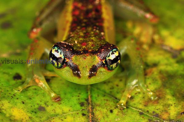 Tree Frog (Boophis bottae), Andasibe-Mantadia National Park, Madagascar