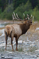 Bull elk bugling during autumn rut