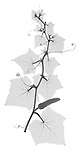 X-ray image of a pickling cucumber vine (black on white) by Jim Wehtje, specialist in x-ray art and design images.
