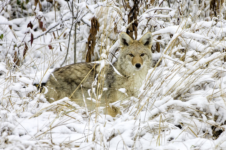 Coyote pauses while hunting in snow covered grass