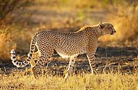 Cheetah, Grumeti, Tanzania, East Africa