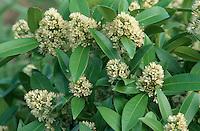 Skimmia 'Kew Green' in flower in spring AGM shrub