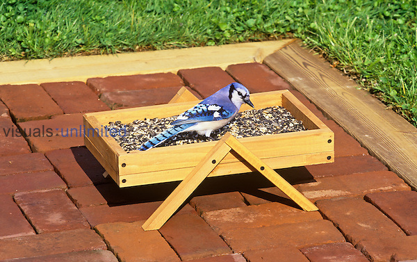 Blue Jay (Cyanocitta cristata) feeding on seeds at a patio bird feeder.