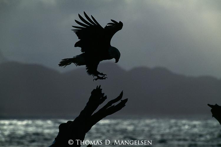 Silhouette of bald eagle landing on tree in Homer, Alaska.