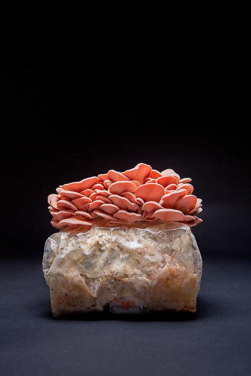 Apex, North Carolina - Monday March 21, 2016 - Salmon Oyster mushrooms from Fox Farm.