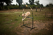 A sniffer dog jump through hoops as they demonstrate their talent at the Counter Terrorism and Jungle Warfare College in Kanker, Chhattisgarh, India. Photograph by Sanjit Das/Panos for The Times.