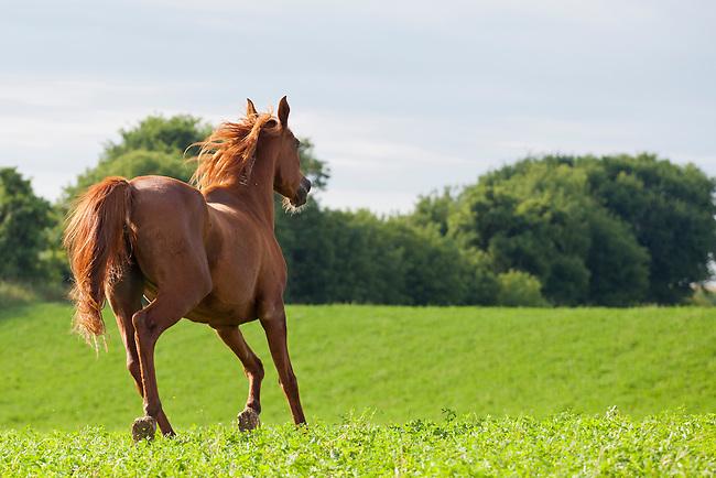 Chestnut Arabian horse running in green pasture bordered ... - photo#32