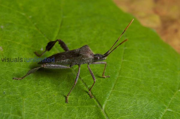 Leaf-footed bug (Acanthocephala terminalis).