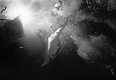 Manta Rays at Night