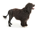 Portuguese Water Dog - Standing Show Pose, with Lions Mane Cut