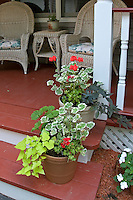Ipomoea 'Blackie' & 'Sweet Caroline' in pots with annual geraniums (Pelargonium) (variegated and green leaved) on porch steps