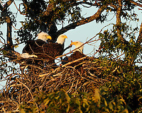 Three adult bald eagles participated in the cooperative nest at Llano for three years.  There were two females and one male.