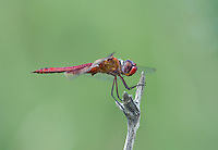388550024 a wild male red saddlebags tramea onusta perches on a dead stick along a canal at black rock springs inyo county california