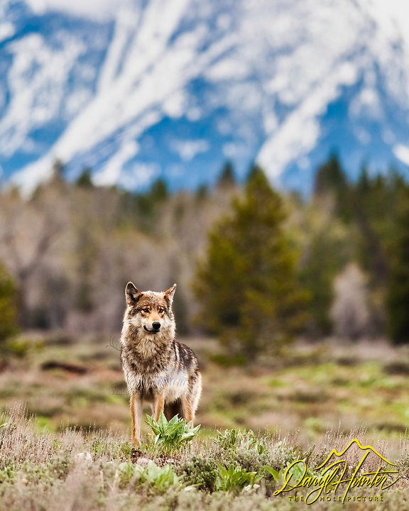 Grey Pacific Creek Wolf posing in foront of the Grand Teton mountains in Grand Teton National Park