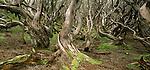 Twisted Rata tree trunks. Auckland Islands. New Zealand Sub-Antarctic Islands.