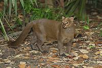 .Jaguarundi (Felis yagouaroundi), adult, Belize