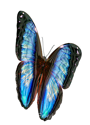 Blue morpho butterfly concept computer enhanced