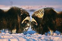 Bull Musk Ox face off on Alaska's snowy Arctic Coastal Plain