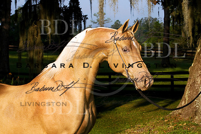 Golden Providence, one of the most unusual and fascinating horses I've ever seen, at Rohara Arabians in Florida.  She appears in the book Horses:  In Living Color.