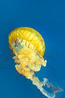 435250006 pacific sea nettle chrysaora fuscescens swim and float in their aquarium at the long beach aquarium in long beach california