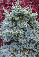 Picea pungens 'R.H. Montgomery' blue silver gray needle foliage dwarf form of conifer, Colorado Spruce tree
