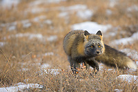 Cross Fox hunts for rodents on the autumn tundra of Alaska arctic north slope, Brooks range, Alaska