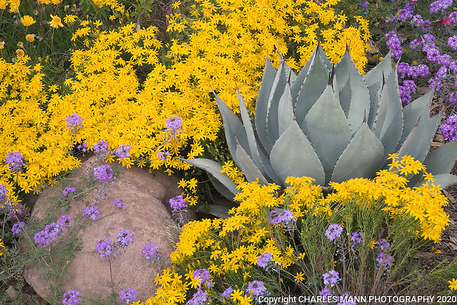 A spiky gray leaved Agave parryi Variety Huachusensis nestles in a bed of spring blooming flowers in April at the Boyce Thompson Arboretum in Superior, Arizona.