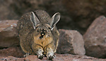 A mountain viscacha yawns as he stretches his front legs, Salar de Uyuni, Bolivia