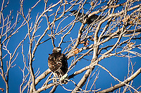 An unidentified raptor in the branches of a tree along the shores of the Martin Luther King Jr. Regional Shoreline.  Above it, in the bare branches, is a crow, all against a background of clear blue sky.