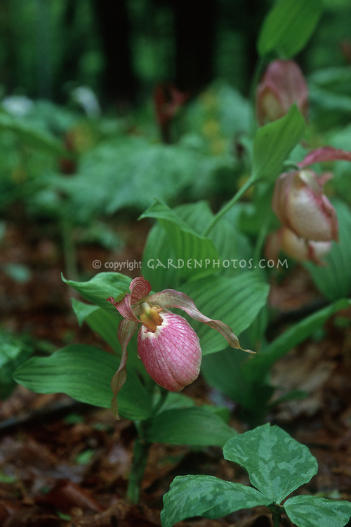 Cyripedium Gisela orchid hybrid lady slipper growing in ground