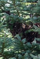 1B18-522z  Honeybees swarming to find new home, swarm mass on a tree branch, Apis mellifera
