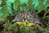 1R44-005x  Eastern Box Turtle - in shell - Terrapene carolina