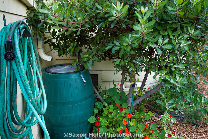 Hose next to rain barrel with roof downspout by house in Sibley drought tolerant back yard garden, Richmond California