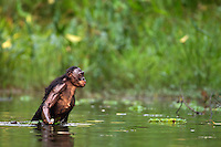 Bonobo female wading through water (Pan paniscus), Lola Ya Bonobo Sanctuary, Democratic Republic of Congo.