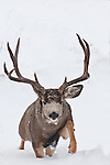 muledeer buck lunging, runing, rushing, chasing, approaching snow winter