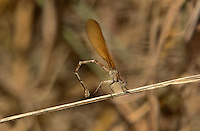338470004 a wild female  golden-winged dancer argia rhoadsi perches by a small stream near san benito lower rio grande valley texas united states