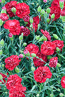 Dianthus Passion in scarlet red flowers