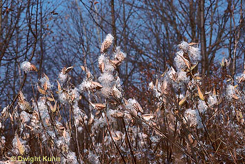 MK01-028a  Milkweed - seed dispersal, breaking from pods, blowing in wind - Asclepias syriaca