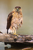 541720003 a wild juvenile coopers hawk accipiter cooperii perches on a log after bathing in a small pond on a private ranch in the rio grande valley of south texas