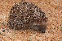 South African Hedgehog (Atelerix frontalis), South Africa