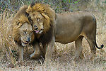 African lions, Mala Mala Game Reserve, South Africa
